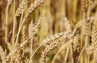 Китай хочет расширить поставки российского зерна